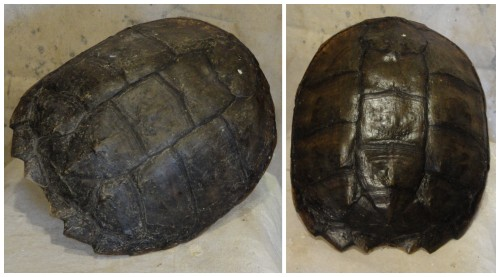 my turtle shell~