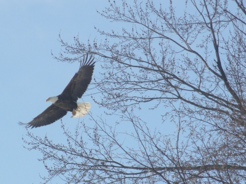 the Bald Eagle in our neighborhood this morning--