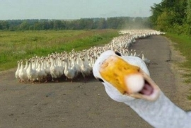 Duck photobombs his friends!