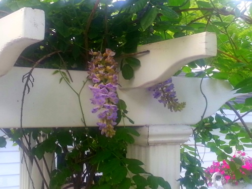 -the wisteria are just beginning to bloom!
