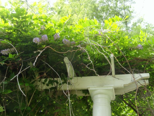 -the wisteria are beginning to bloom!