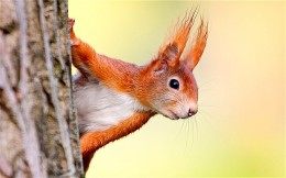 the red squirrel did it--