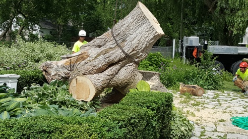Taking down the BoxElder tree