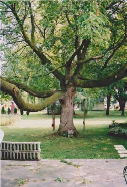 the BoxElder tree in the 90's