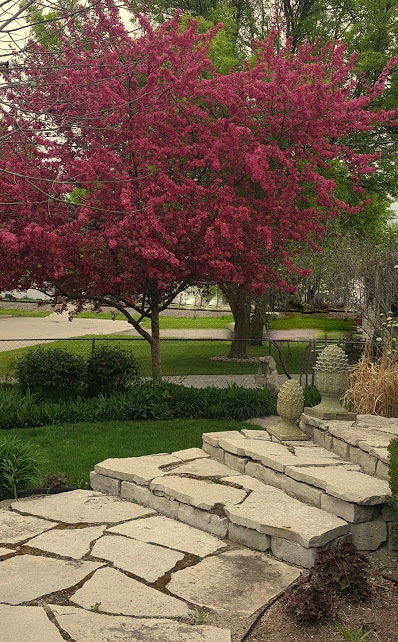 the Crab Apple tree in all it's splendor